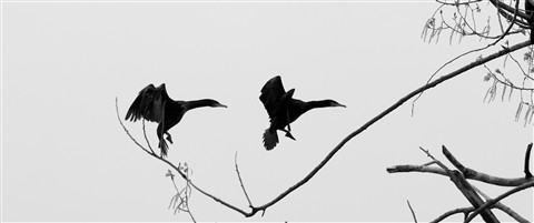 Aerial ballet of the cormorants new