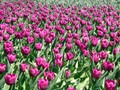 Red Tulipans