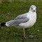 SeagullGroundStaringCropped1280_IMG_2239