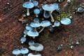 Fluorescent Fungi
