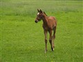 Young Racehorse