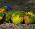 Two Birds Eating Mangos