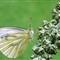 Image0056  Green Veined White