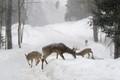 Reindeers in snow storm, Omega Park, Québec