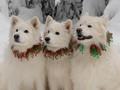 Christmas Samoyeds