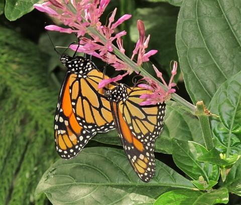 Monarch2_00072