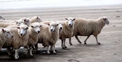 Mob of Sheep on Castlepoint Beach