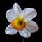 Daffodil/Narcissus