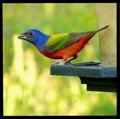 Painted Bunting,Male