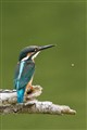 kingfisher_s0180