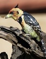 Crested barbet & Bee