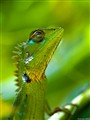 Agama green