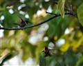 Territorial Hummingbirds protecting their space