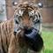 Tiger-033425