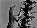 Lizard & Thorns