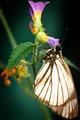 Borboleta e a Flor