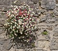Daisies on college wall in Oxford