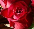 Red Roses,   Image066