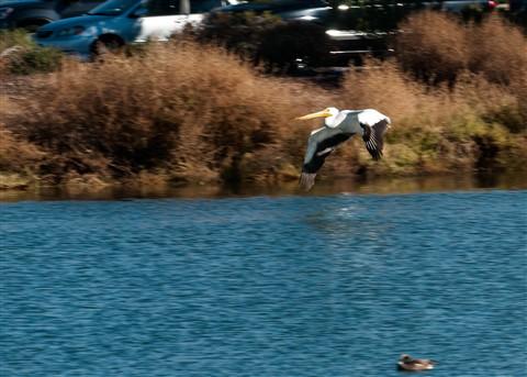 White Pelican 013