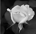 Black and White Young Rose