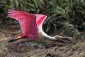 Roseate Spoonbill Flight