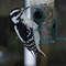 Hairy Woodpecker (f.)