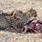 Snack Time for Cheetah Figure Three  DECEMBER 4 ETOSHA NATIONAL PARK NAMIBIA (1 of 1)