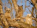 A family of great horned owls in Minnesota