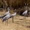 Cranes at Hula