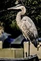 Heron on Deck