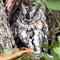 African Scops Owl 2