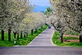 Asphalt blossom