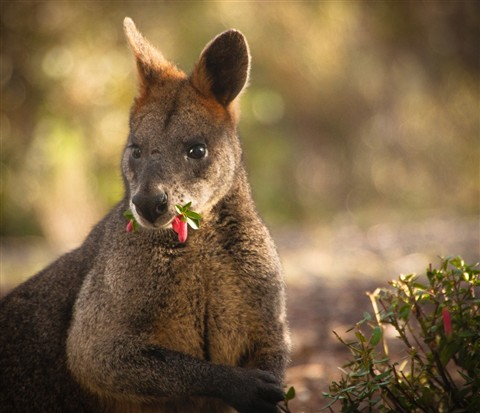 Mona Wallaby