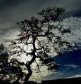 Yee Ole Tree