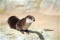 Sunning Otter