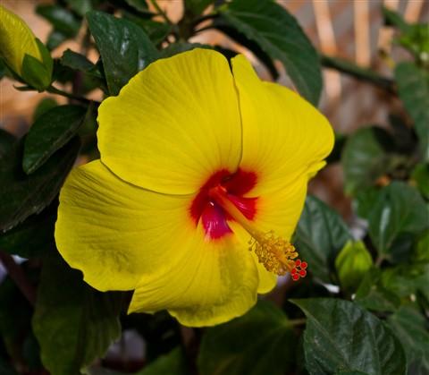 Ibicencan flower.