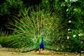 Peacock -LA Arboretum-8413