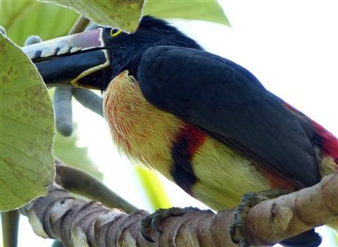 Collared Aracari 60244