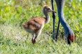 A Sandhill Crane Colt watches over one of its parents. Taken at Circle B Bar Reserve in Lakeland, Florida.