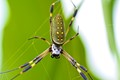 Golden-orb weaver