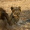 Curious Progeny@Kruger Park
