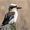 Kookaburra 1web