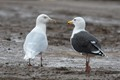 Glaucous and Gr.Black-backed gulls, Canning, NS, Canada
