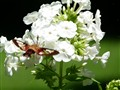 White Garden Phlox and Hummingbird Moth