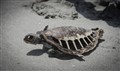 Dead turtle on Masirah Island, Oman