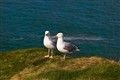 B32 Pair of Sea Gulls