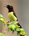 Sun_Bird_02