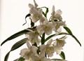 orchidées en contre-jour