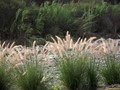 Wild grass growing in a dry riverbed.