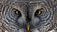 Great Gray Owl Photographed in the Wild